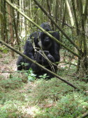 Gorillas mating.