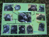 A familial diagram my guide provided of the Sabyinyo Group. Twelve members of the group are pictured but there are now fourteen. The silverback in the middle, named Guhonda, is the oldest and largest silverback known to live in these mountains. He is 40 years old and weighs 250 kilograms / 550 pounds. As you can see from this schematic, he keeps the ladies of the Sabyinyo Group busy!