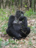 Chillin', gorilla-style.