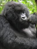 I know! Let's have some more gorilla beer!