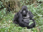 A visit to the gorilla-salon for a gorilla-grooming.