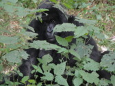 Gorilla! The first one I found was hiding behind some bushes.